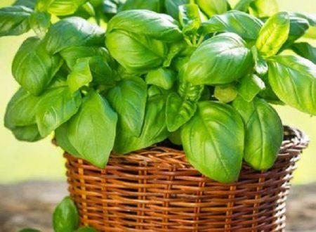 Basilico…proprietà e benefici